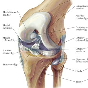 Functional Anatomy of the Knee