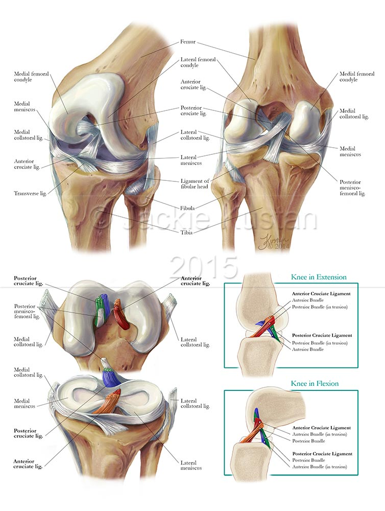 Functional Anatomy of the Knee – Jackie Kustan, Medical Illustration